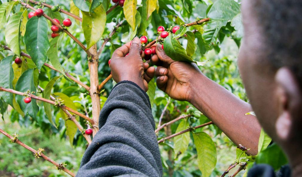 Kenya Coffee History
